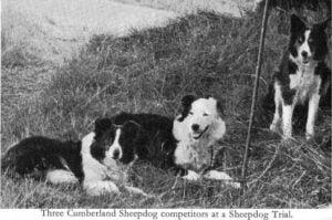 The Cumberland Sheepdog