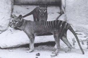 Thylacine dog breed