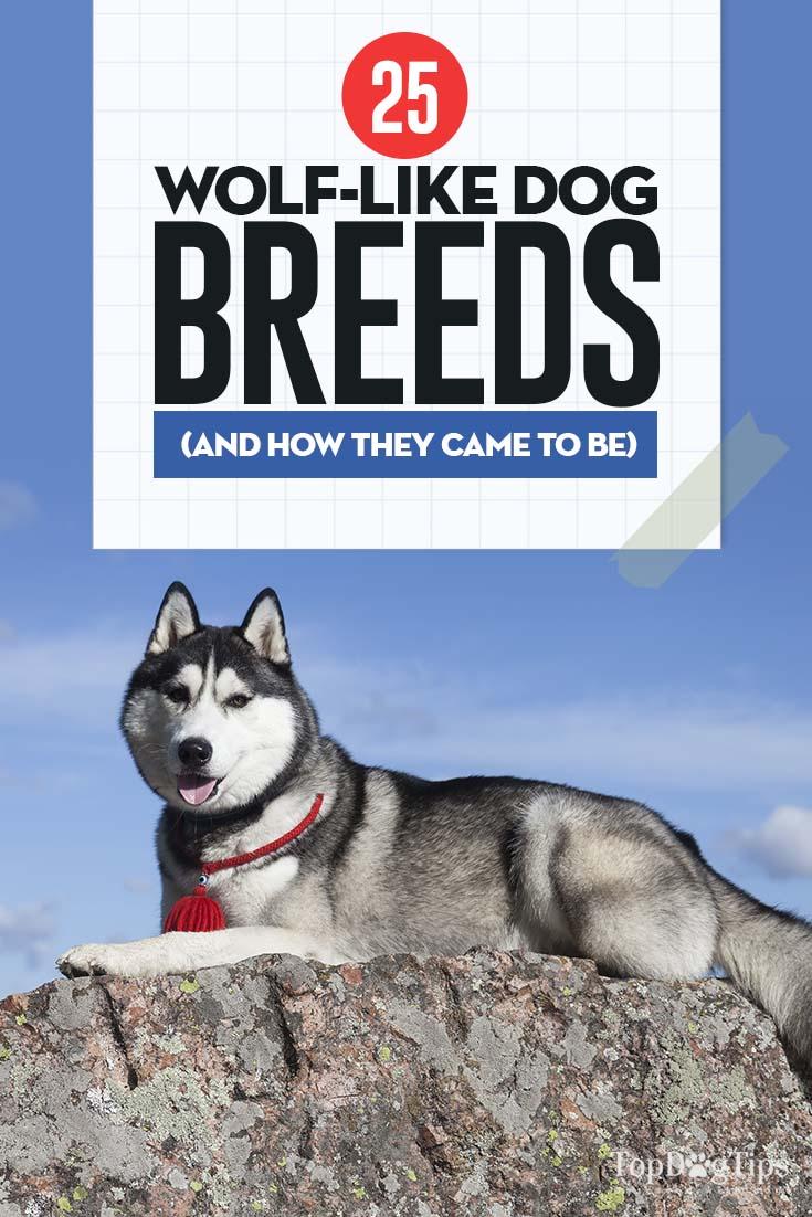 Top Wolf Dog Breeds
