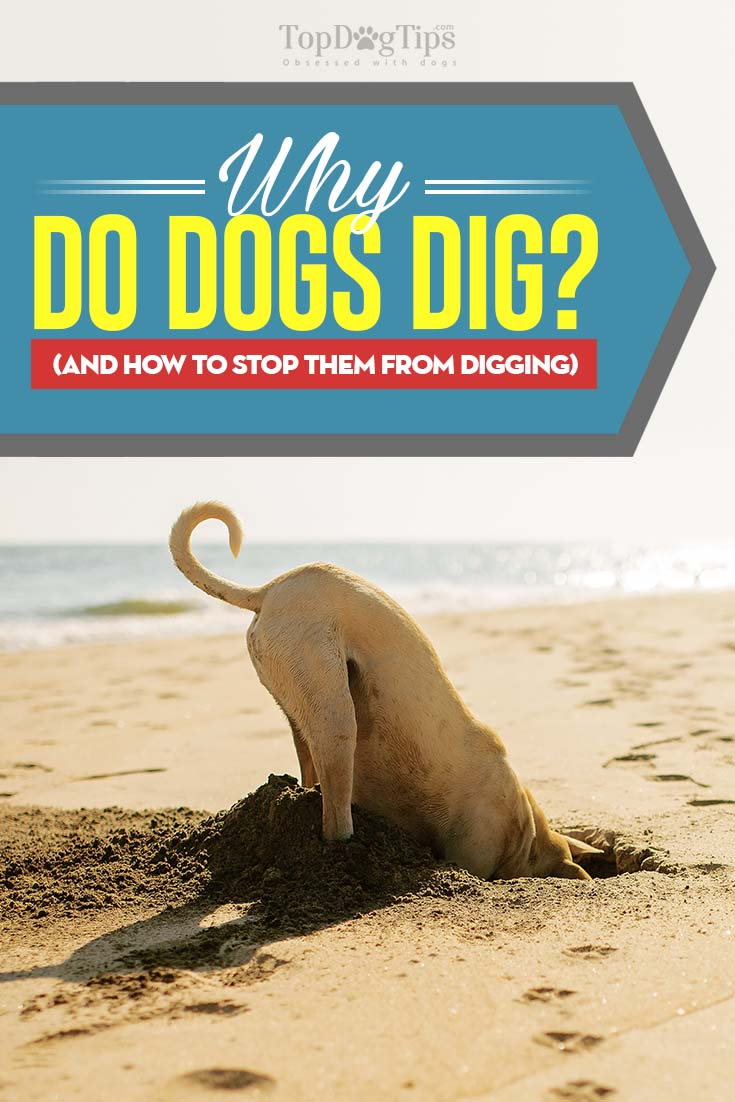 Why Do Dogs Dig