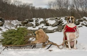 Are Christmas Trees Poisonous to Dogs