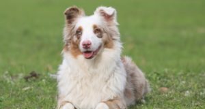 best dog food for Miniature American Shepherd