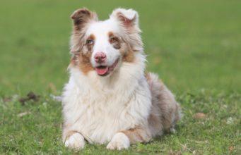 best dog food for Miniature American Shepherd