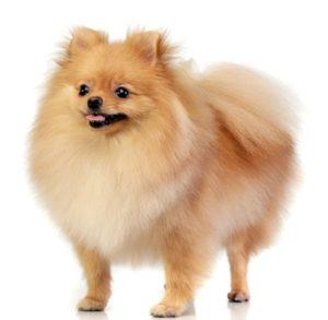 most talkative dog breeds