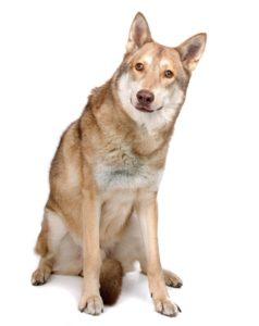 wolf dog breeds