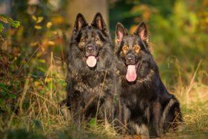 American Shepherd Tundra Dog