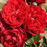 Arborose Florentina Rose Bush
