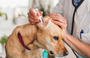 Best Dog Ear Infection Treatment