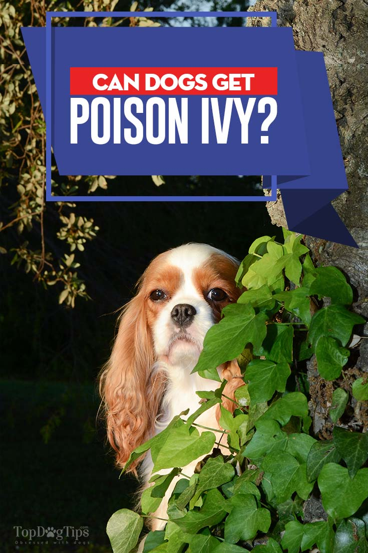 Can Dogs Get Poison Ivy & Poison Ivy and Dogs: Can Dogs Get Poison Ivy and What to Do?