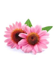 Echinacea for parvovirus