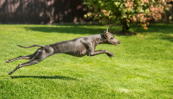 Fastest Dog Breeds