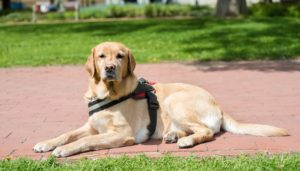 Obtaining a Service Dog Through a Service Dog Program