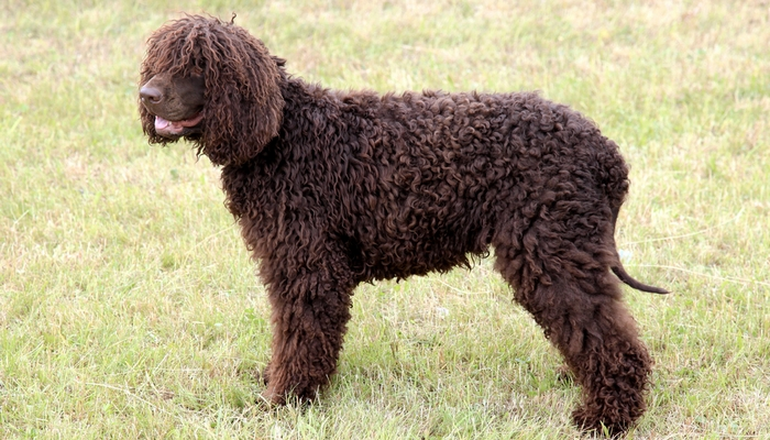 Non Shedding Dog Breeds