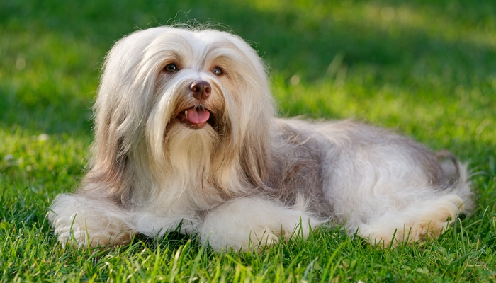 Non Shedding Dogs That Make Great Family Pets