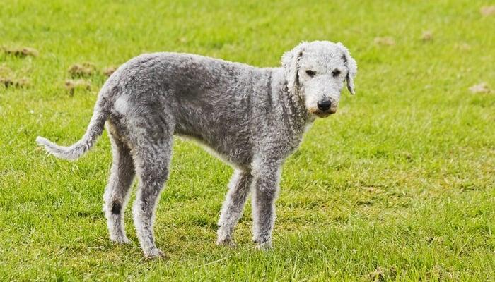 35 Non Shedding Dog Breeds Ranked In Order