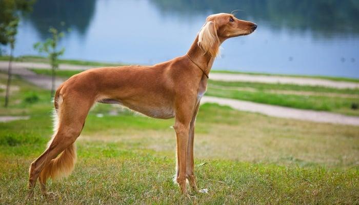 Non Shedding Dog Breeds