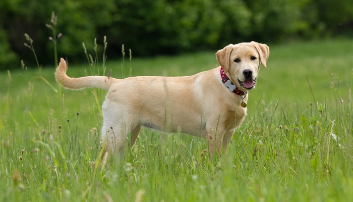 Top Dog Breeds in the UK