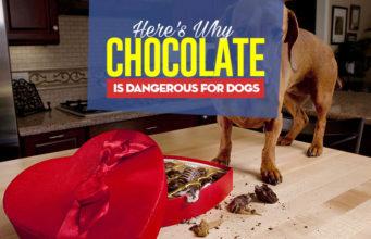 Can I give my dog chocolate