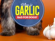 Can I give my dog garlic