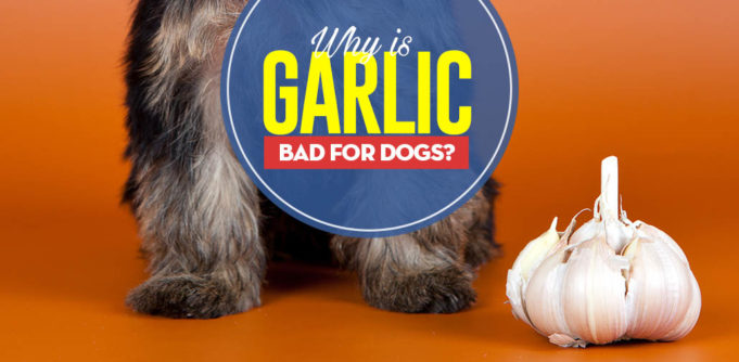 Can I give my dog garlic