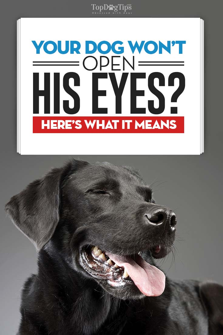 My Dog Won't Open His Eyes: What It Means And What You Must Do