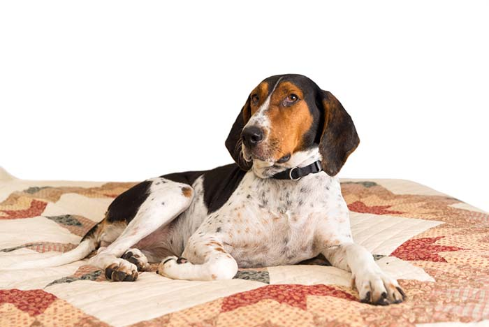 13. Treeing Walker Coonhound