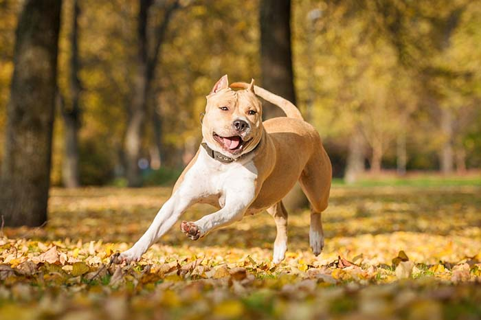 2. American Staffordshire Terrier