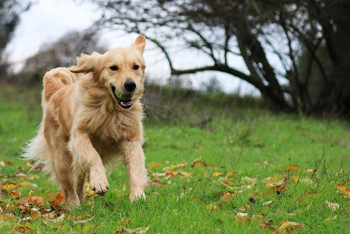 20. Golden Retriever