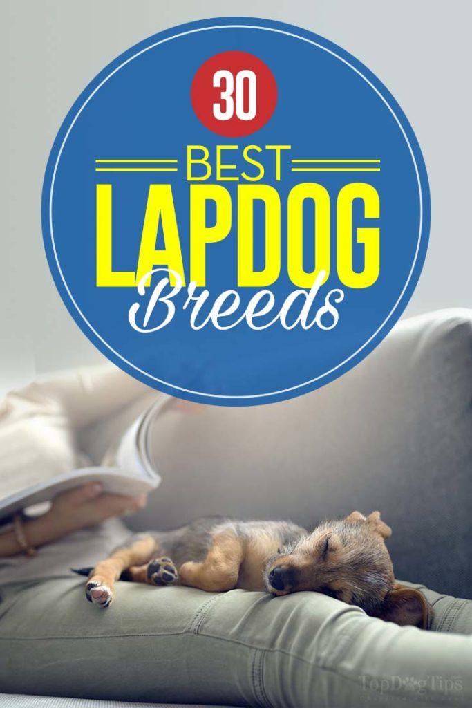 30 Best Lap Dog Breeds