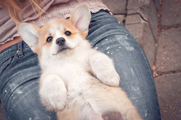 Corgi Small Calm Dog