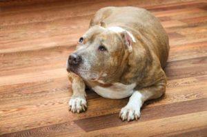 Diabetes in Senior Dogs