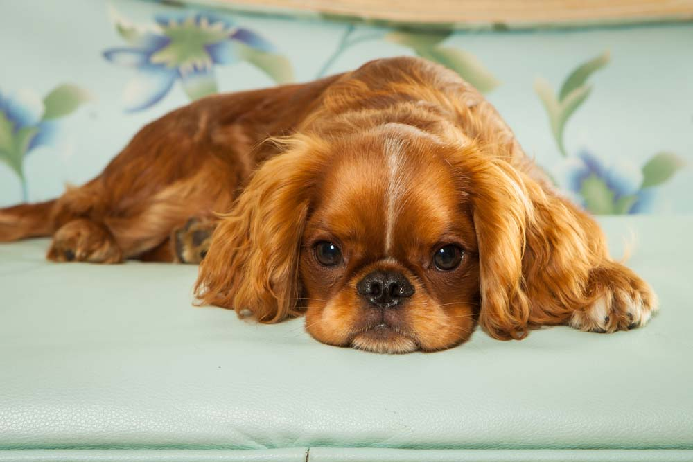 English Toy Spaniel lap
