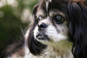 Eye Disorders in Senior Dogs
