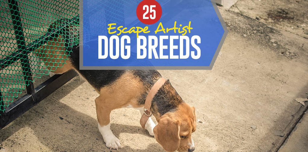 Top 25 Escape Artist Dog Breeds