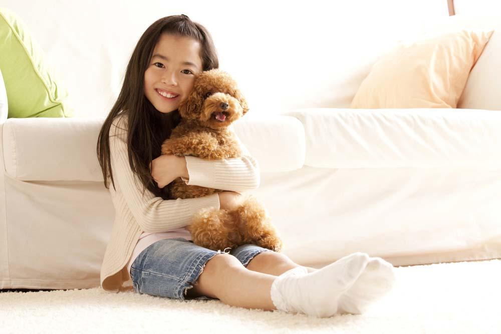 Toy Poodle lap