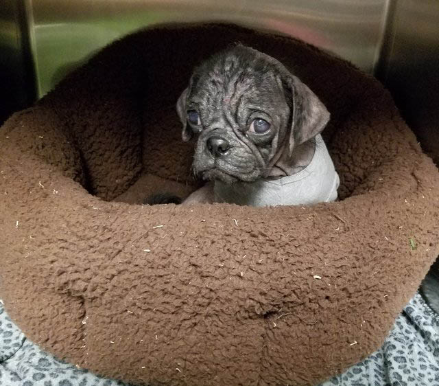 Pug Dex in his dog bed recovering