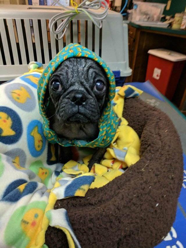 Rehabilitation of Dex pug from Mange