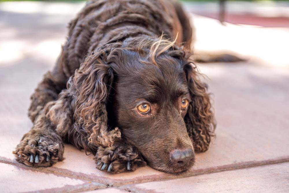 American Water Spaniel swimming breed