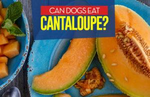 Can I give my dog cantaloupe