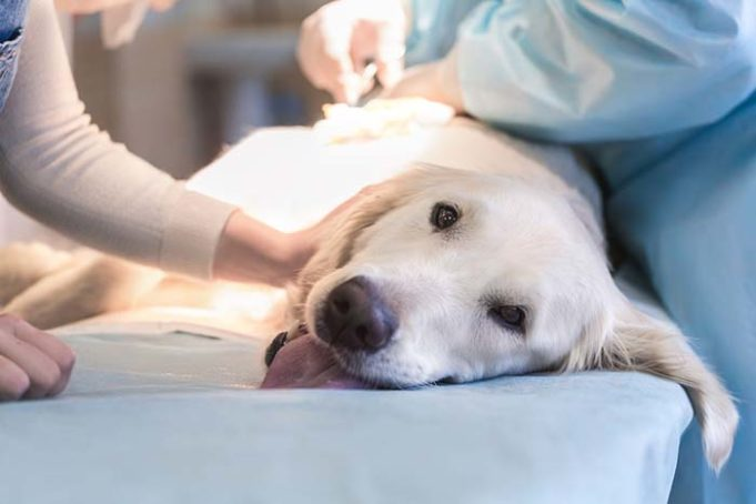 Cancer Vaccine for Dogs Set for Clinical Trial with High Hopes