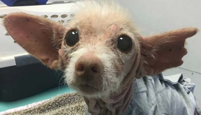 Cute Rescue Dog's Breed Remains A Mystery Because She Has No Hair