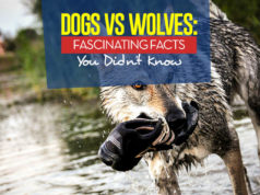 Dogs vs Wolves - The 10 Facts You Should Know about Dog's Closest Ancestor
