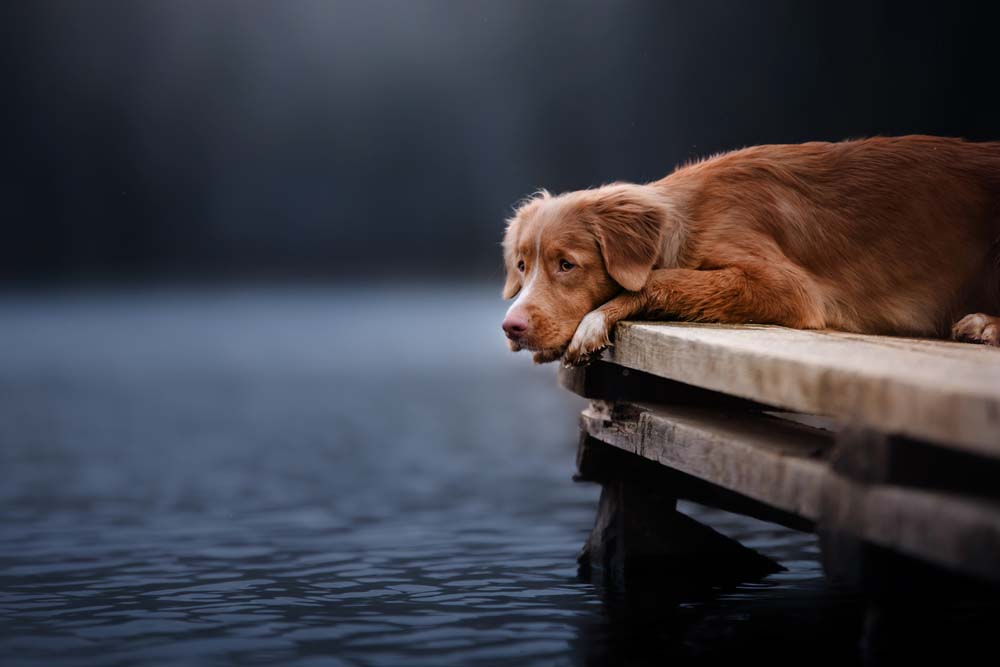 Nova Scotia Duck Tolling Retriever is dreaming about going for a swim