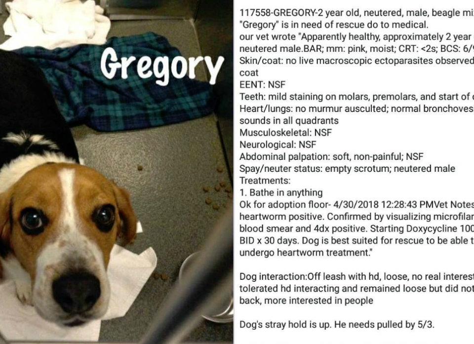 Saved Beagle Gregory Story