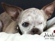 Harley, Chihuahua