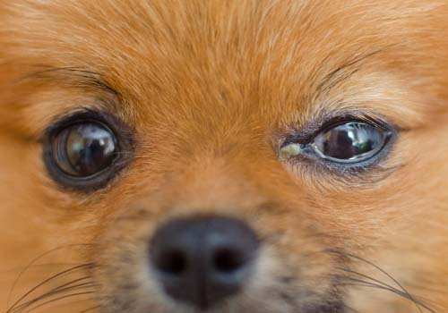 Conjunctivitis in Dogs (Pink Eye)