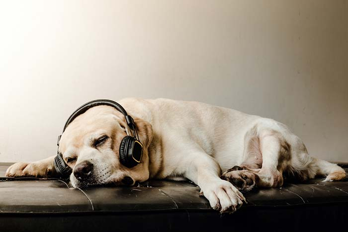 Do Dogs Like Music and Why