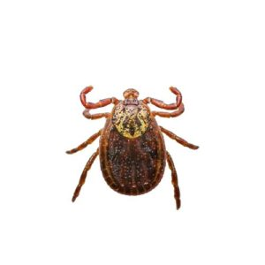 Encephalitis or Lyme Virus Infected Tick Insect