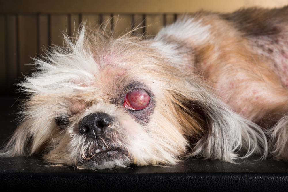 Eye Inflammation in Dogs