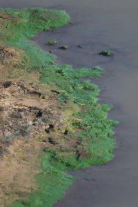 Poison Blue-Green Algae Toxic to Dogs